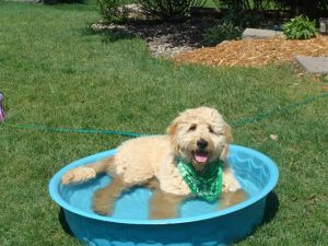 redcedarfarms-goldendoodles_image1