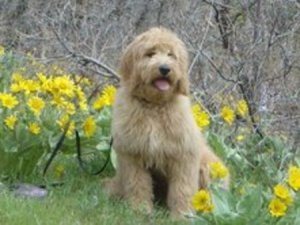 redcedarfarms-goldendoodles_image4