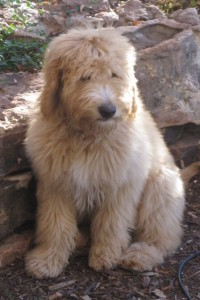 redcedarfarms-goldendoodles_image5jpeg