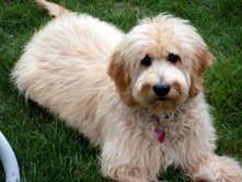 redcedarfarms-goldendoodles_image6