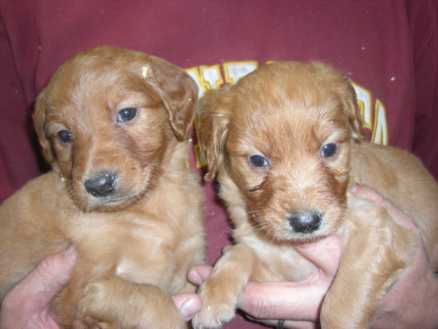 Goldendoodle Puppies For Sale Minneapolis St Paul